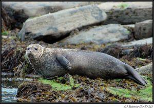 Phoque veau marin - 2007 - Ecosse