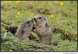 Marmottes des Alpes - 2013 - France